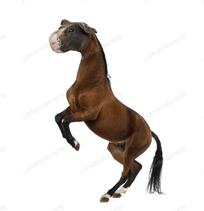 Horse with head of a Guinea Pig rearing up against white background