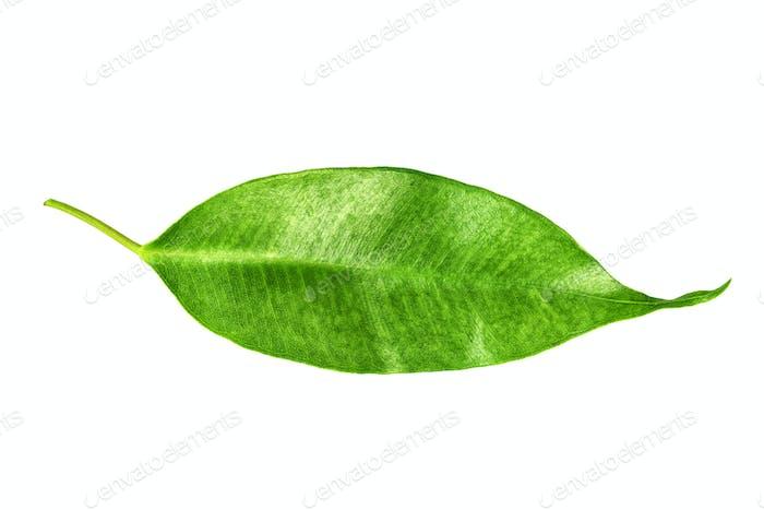 Citrus tree leaf isolated on white background.