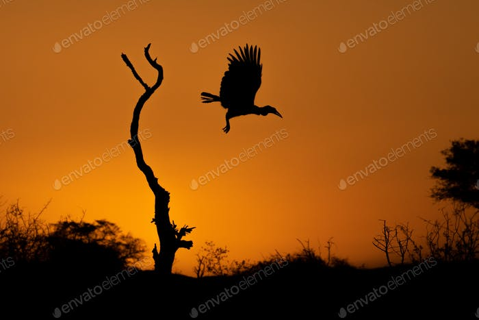 Silhouette of a Ground Hornbill, Bucorvusleadbeateri, at flight from a dead tree at sunset.
