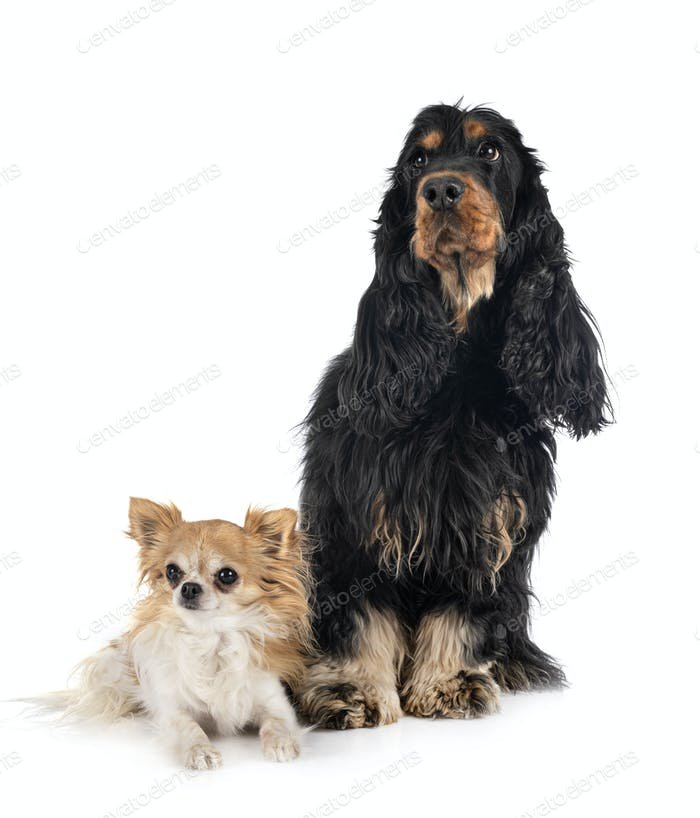 cocker spaniel and chihuahua
