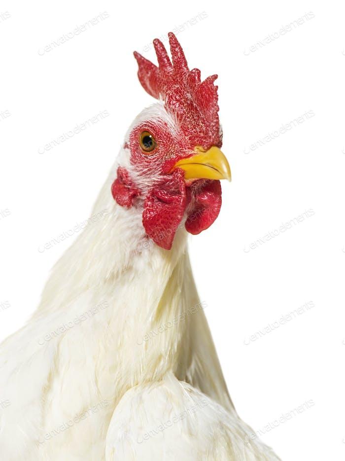 White chicken against white background
