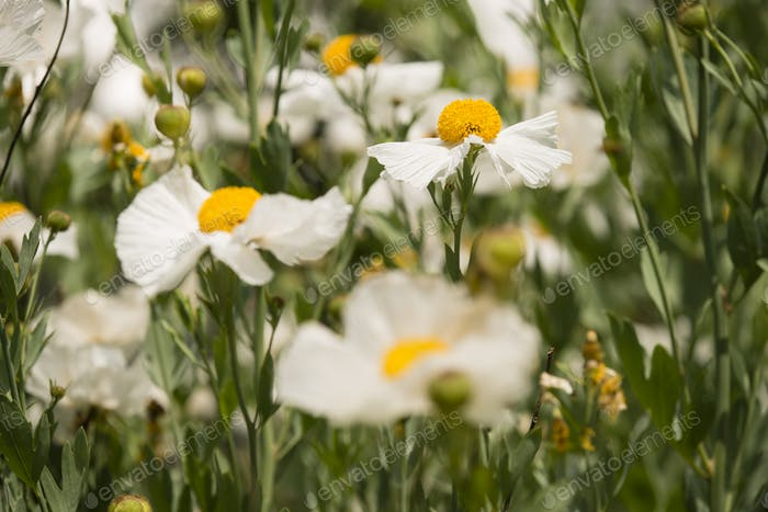 Details of California tree poppy flowers