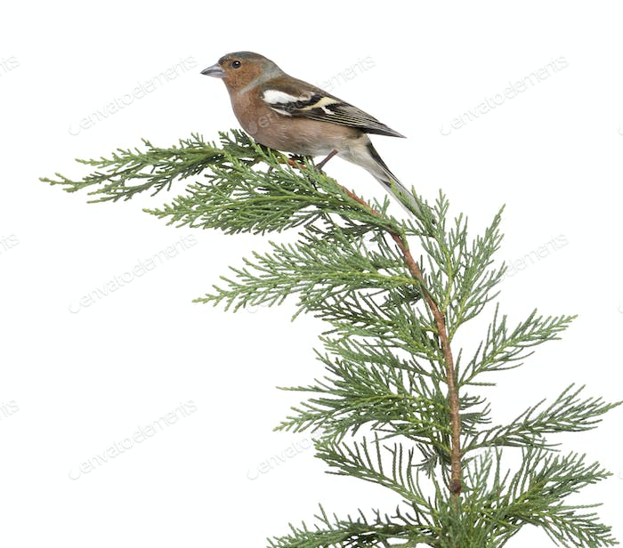 Male Common Chaffinch - Fringilla coelebs perched on a green branch