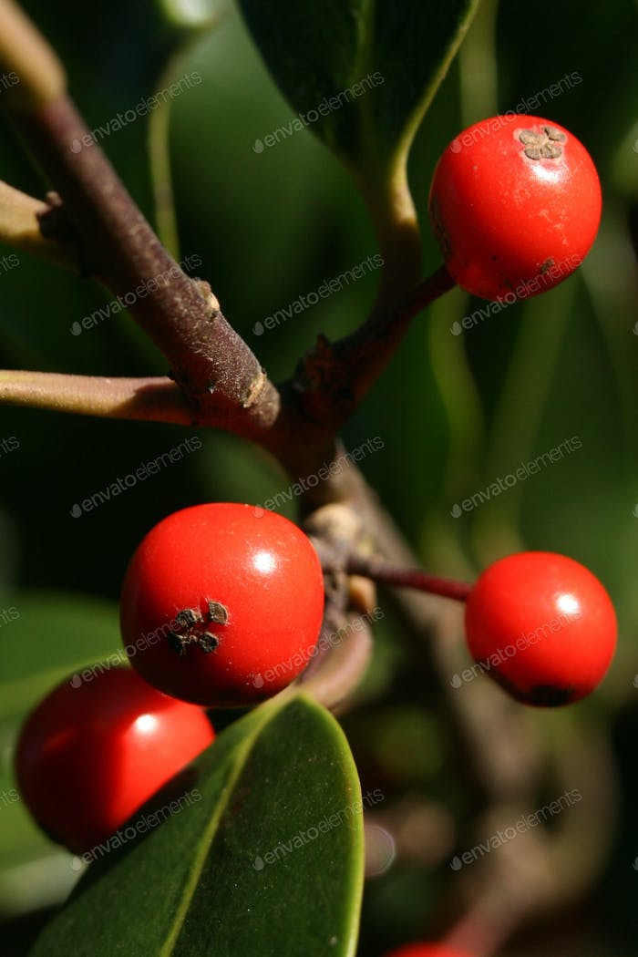Red Berries on Holly Tree in Forest