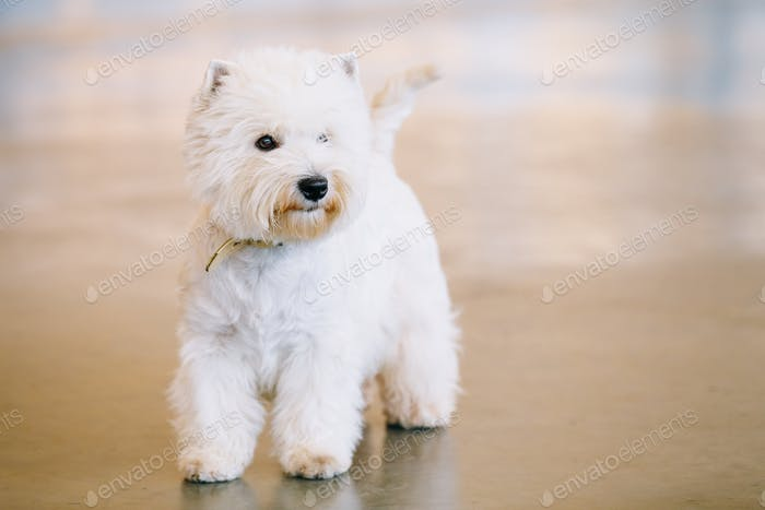 West Highland White Terrier, Westy, Dog Portrait