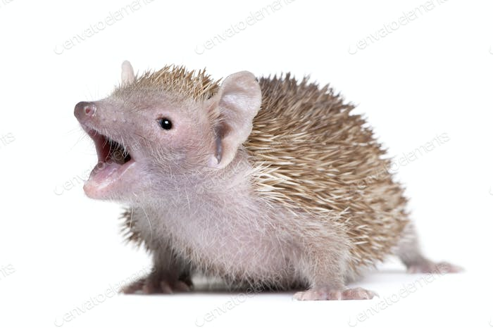 Portrait of Lesser Hedgehog Tenrec with mouth open, Echinops telfairi, in front of white background