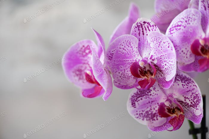 Violet orchid on grey concrete background. Banner with copy space. Spring, woman day concept