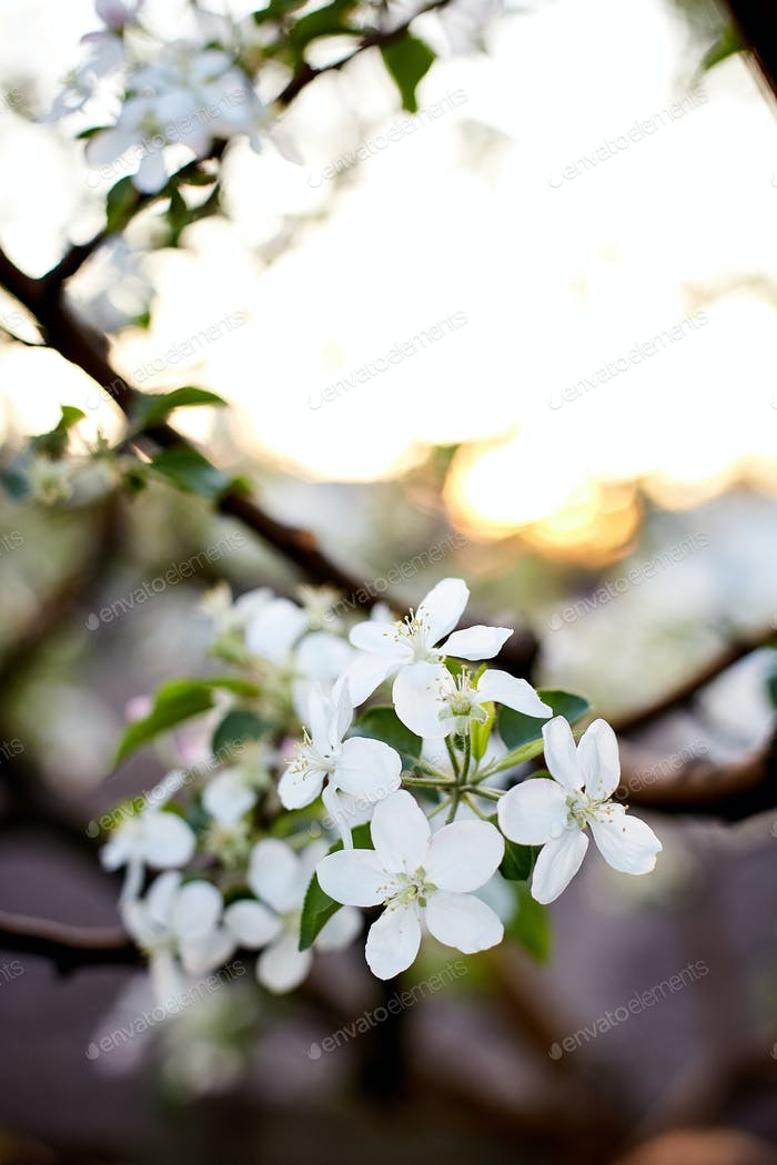 Blooming apple branch at spring garden over blurred nature background