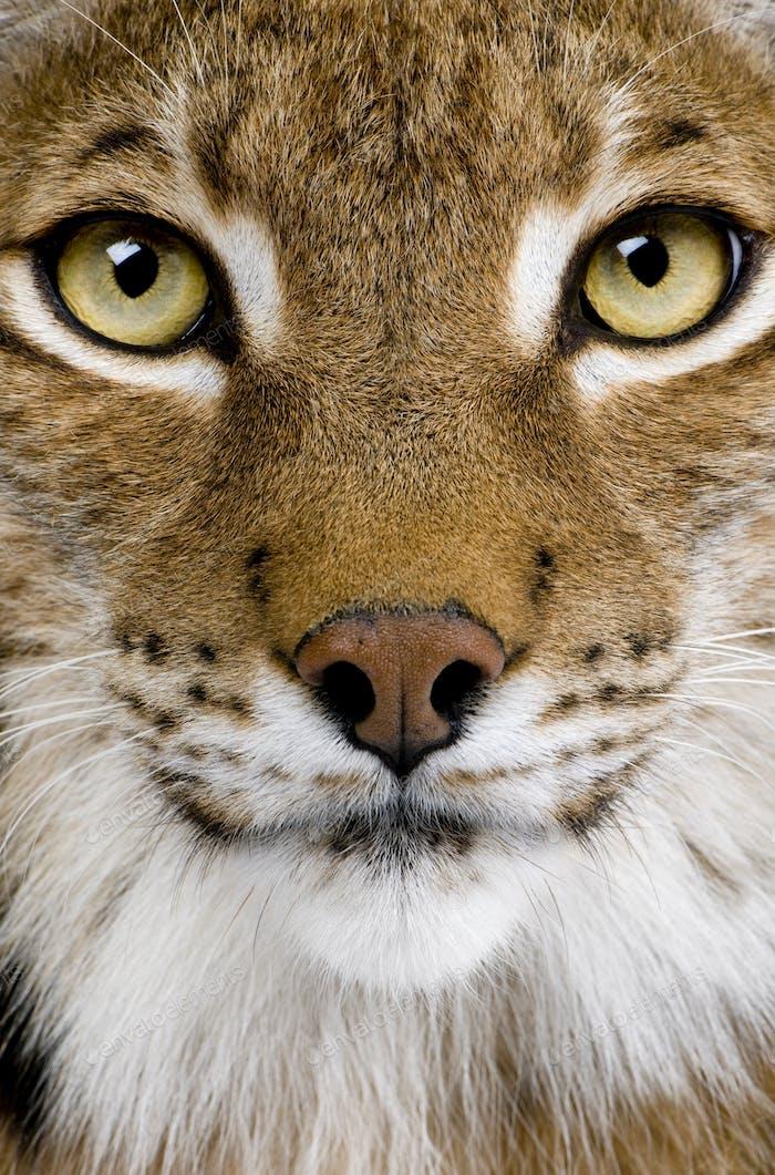 Close-up of a Eurasian Lynx's head - Lynx lynx (5 years old)