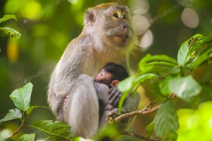Crab-eating macaque Macaca fascicularis in Gunung Leuser National Park, Sumatra, Indonesia