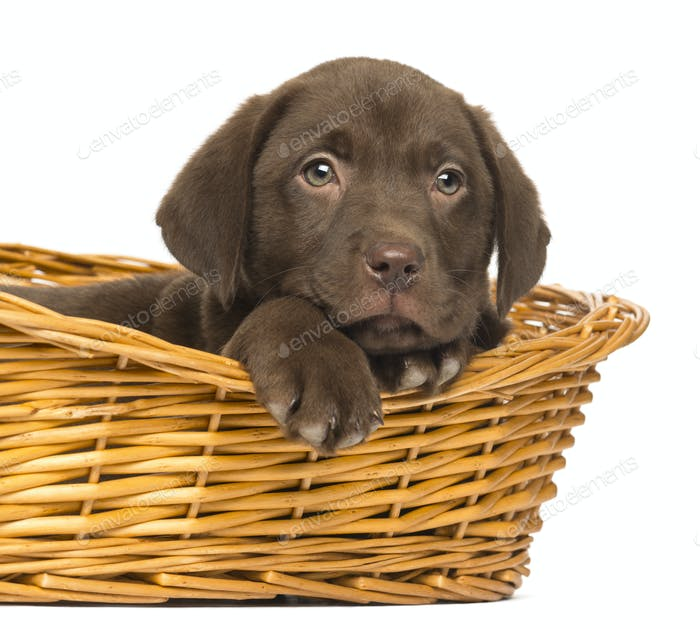 Close-up of a Labrador Retriever Puppy lying down in wicker basket, 2 months old, isolated on white