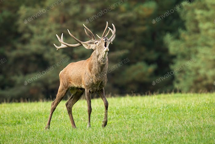 Magnificent red deer stag roaring on meadow in autumn