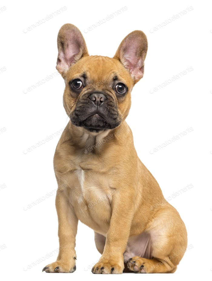 French Bulldog puppy sitting and staring, 4 months old, isolated on white