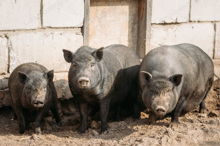 Haushalt Ein Große Schwarze Schweine In Bauernhof. Schweinezucht erhöht und