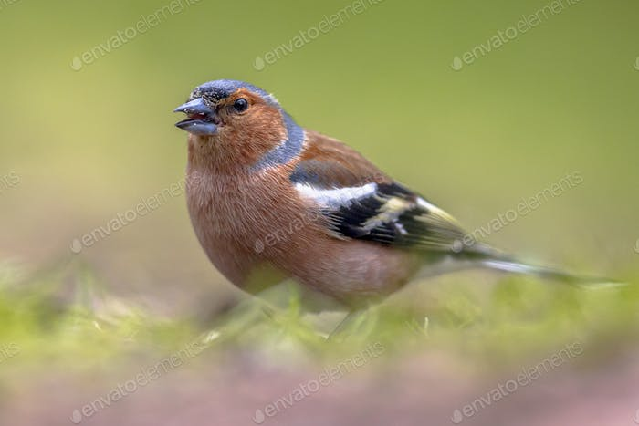 Common Chaffinch on lawn