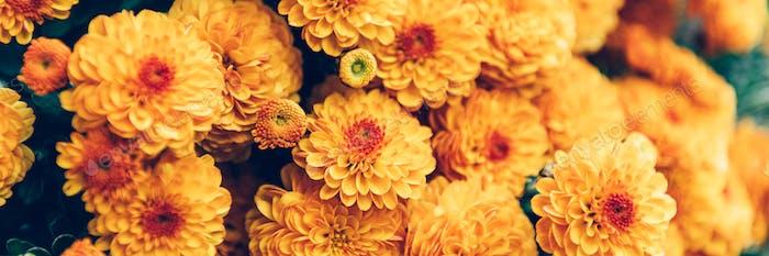 Orange Chrysantheme Blumen