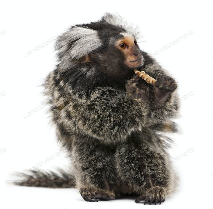 Common Marmoset, Callithrix jacchus, 2 years old, eating worm in front of white background