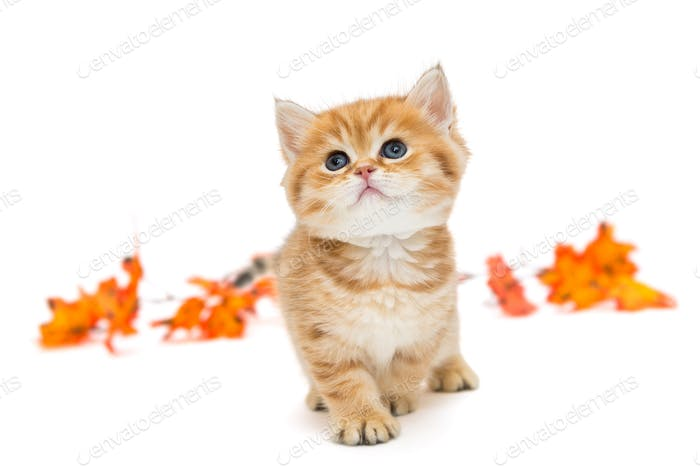 Little British kitten and autumn leaves