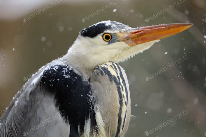 close-up view of beautiful grey heron at snowfall