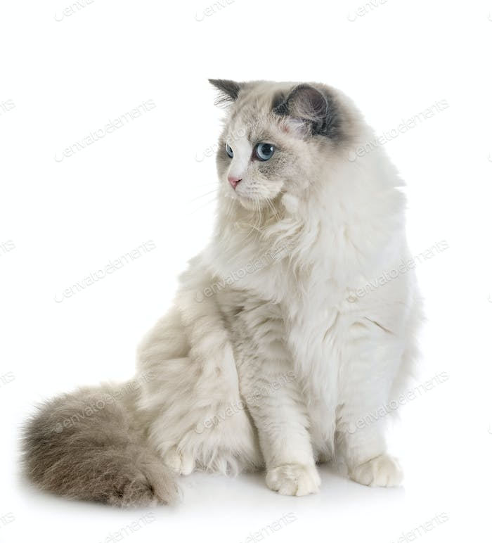 ragdoll cat in studio