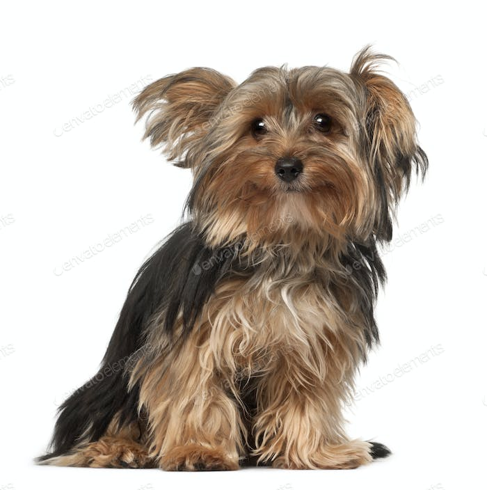 Yorkshire Terrier, 8 months old, sitting in front of white background