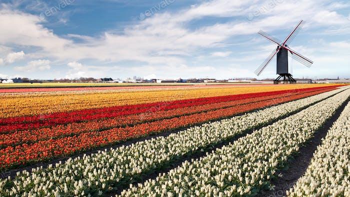 Windmill on field of tulips