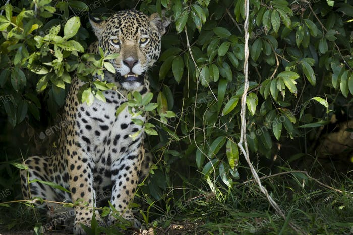 Jaguar, a young animal peering out from the foliage in the forest in Brazil