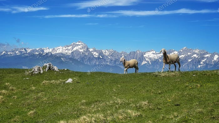 Sheep in the mountain