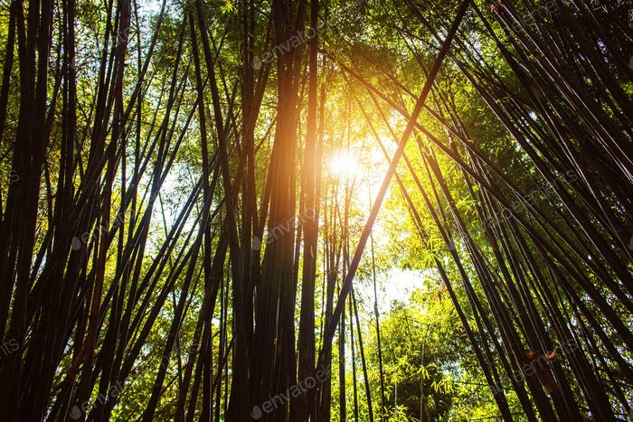 Sun shining on bamboo