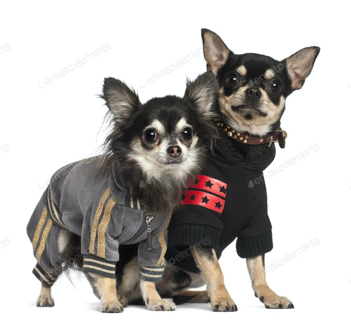Chihuahuas standing against white background