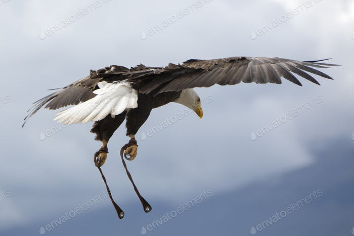 American Bald Eagle flying in Otavalo, Ecuador