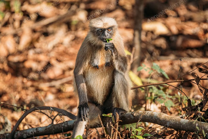 Goa, India. Gray Langur Monkey Eats Fresh Leaves Sitting On A Branch On Forest Ground