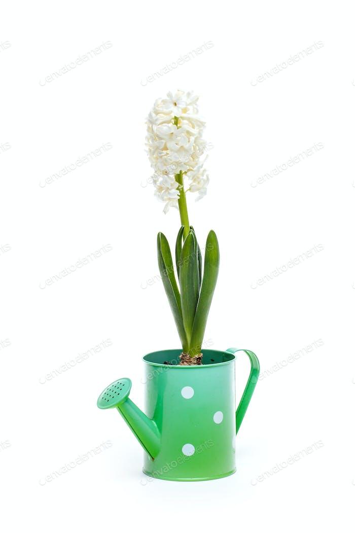 White hyacinth flower
