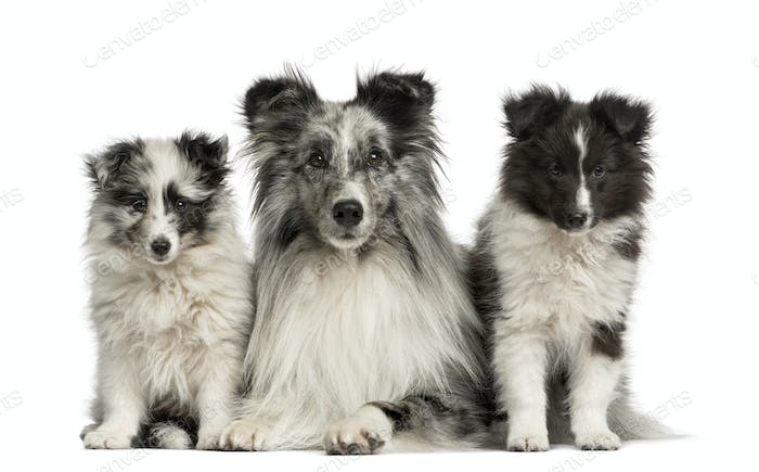 Shetland Sheepdog lying with her puppies in front of a white background