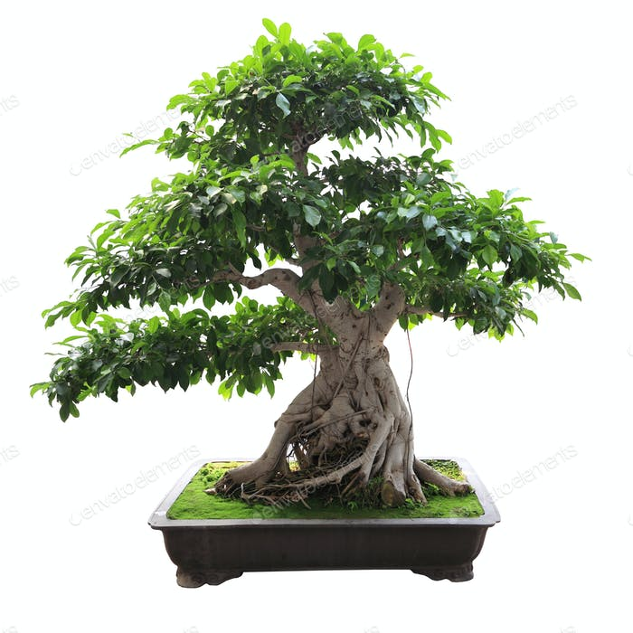 Bonsai Banyan Baum