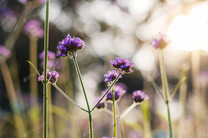 Purple flowers with sunlight
