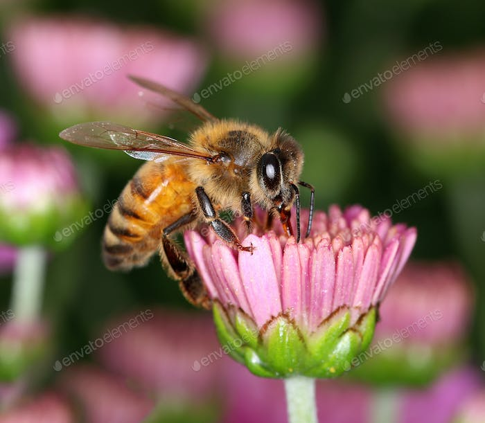 Bee in pink flower bud