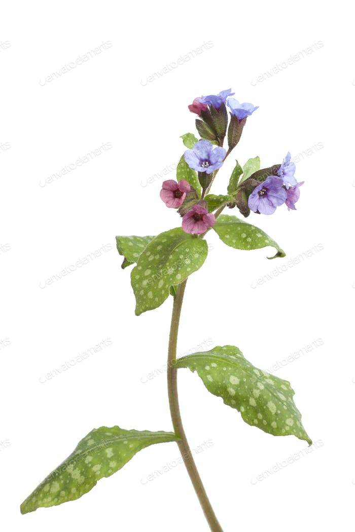 Floración Lungwort