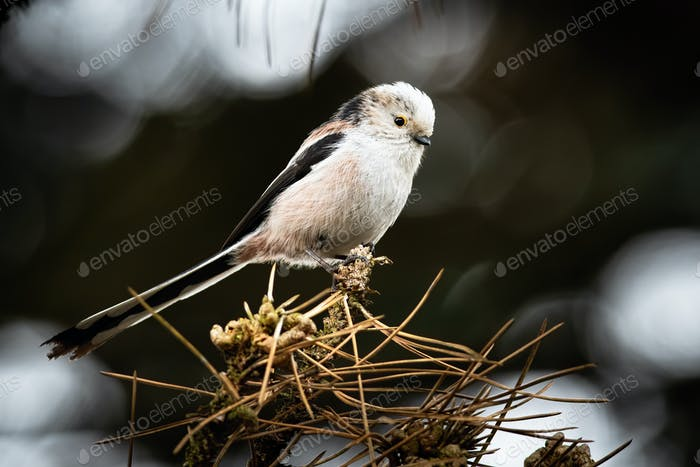 Single long-tailed tit sitting on a branch of coniferous tree with dry needles