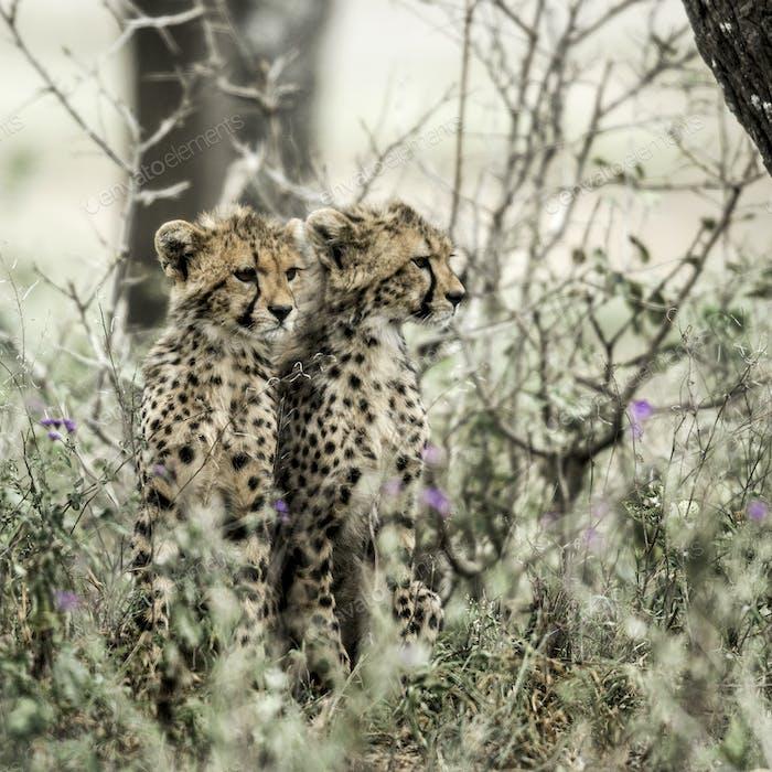 Cub cheetahs in Serengeti National Park