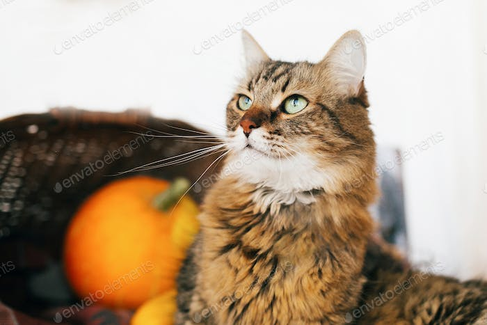 Adorable tabby cat sitting at pumpkin and zucchini in cozy wicker basket