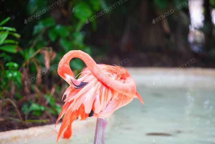 Pink Caribbean flamingos in water