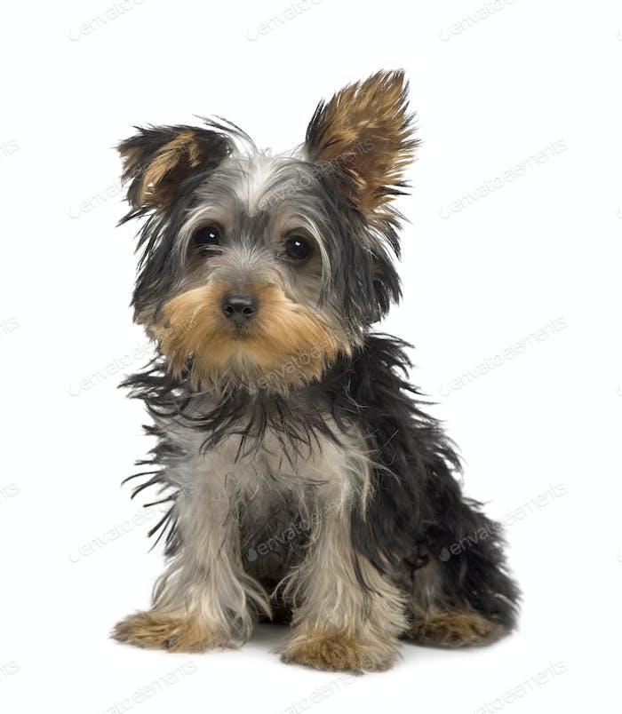 Yorkshire Terrier puppy (3 months)