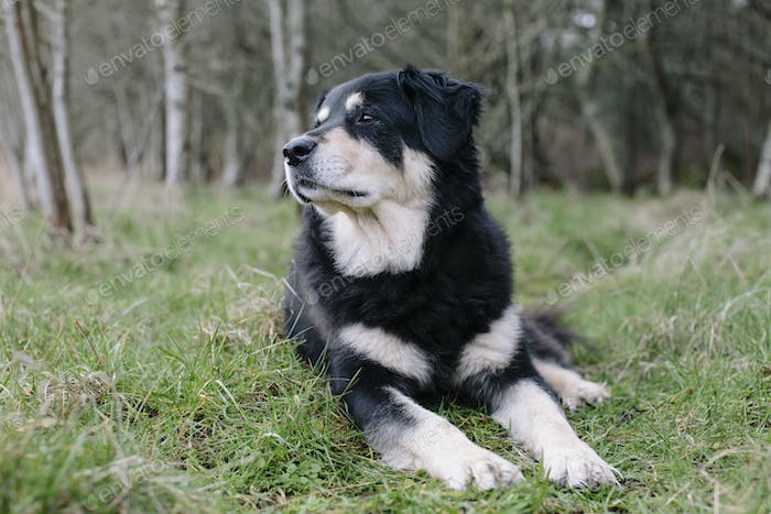 A mixed breed dog with a black coat with white patches, a therapy dog, lying on the grass outdoors.