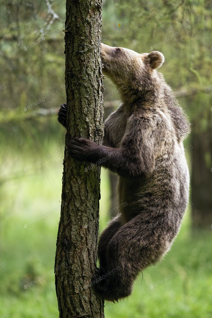 Motivated brown bear climbing a tree in summer forest