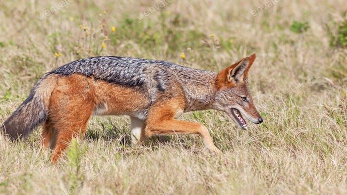 A Black-Backed Jackal on the Prowl
