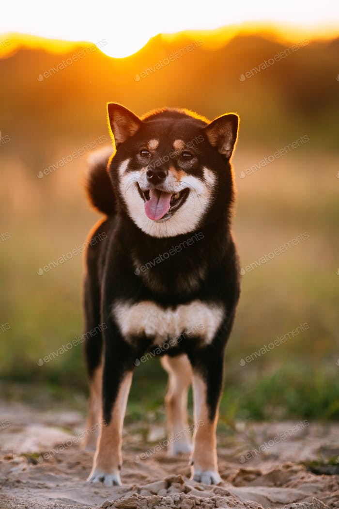 Young Black And Tan Shiba Inu Dog Outdoor