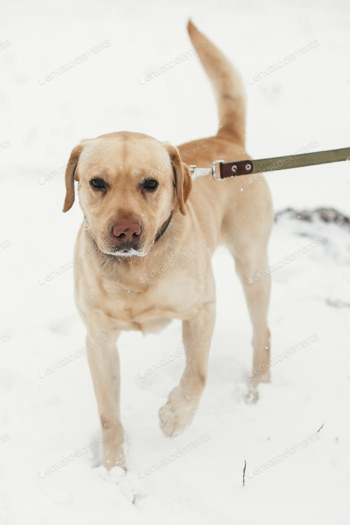 Cute golden labrador walking with owner in snowy winter park