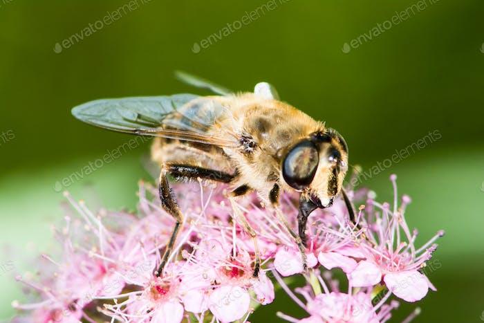 Bee on spiraea japonica flower