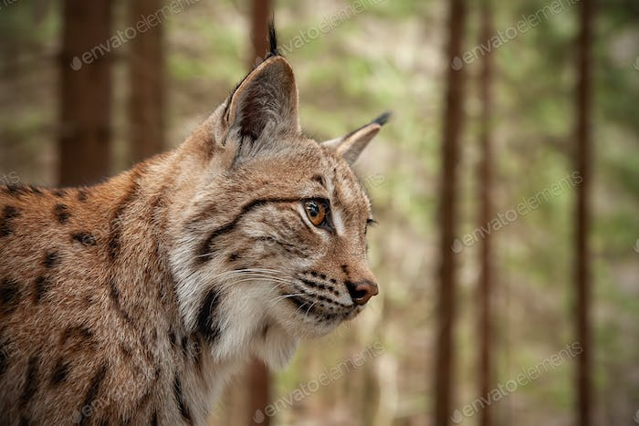 Detailed close-up of adult Eurasian lynx in forest